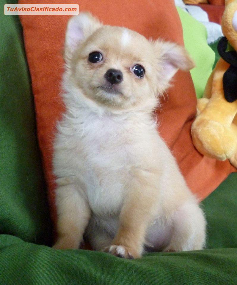 Chihuahua pelo largo ecuador